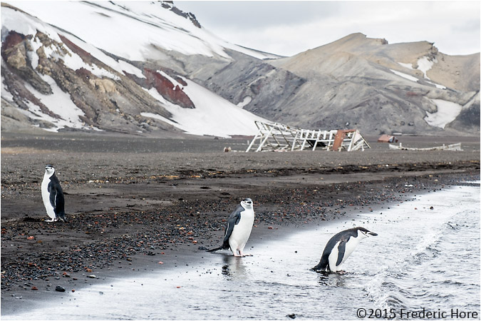 Chinstrap penguins at Whaler's Bay, Deception Island, Antarctica