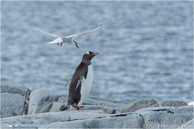An Antarctic Tern attackes a Gentoo penguin close to its nest